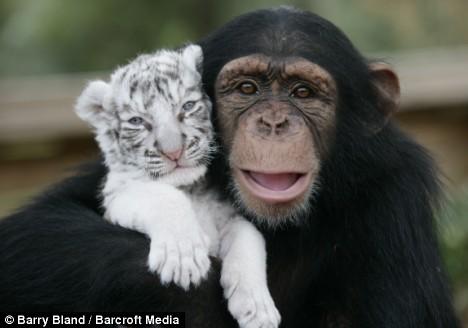 Monkey and tiger cub