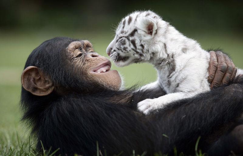 Monkey and tiger cub 2
